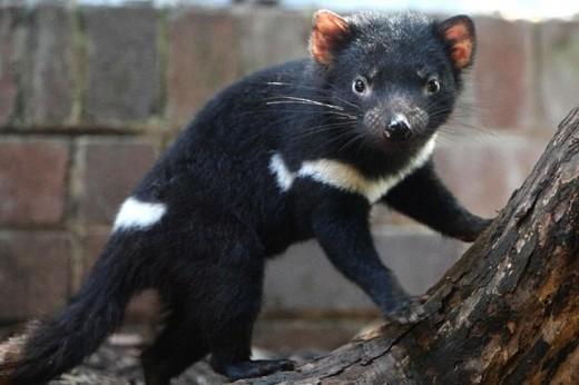 tasmaniandevil.hypertonic